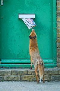 Urban Red fox (Vulpes vulpes) sniffing newspaper hanging out of letter box, London, June  -  Wild  Wonders of Europe / Geslin