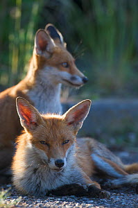 Urban Red foxes (Vulpes vulpes) resting in sun, London, June  -  Wild  Wonders of Europe / Geslin