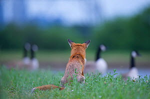 Urban Red fox (Vulpes vulpes) sitting watching Canada geese (Branta canadensis) London, June  -  Wild  Wonders of Europe / Geslin