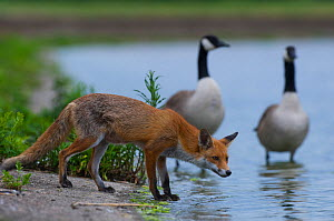Urban Red fox (Vulpes vulpes) at waters edge near two Canada geese (Branta canadensis) London, June  -  Wild  Wonders of Europe / Geslin