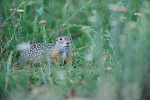 Spotted souslik (Spermophilus suslicus) amongst long grass, Moldova, June  -  Wild  Wonders of Europe / Geslin