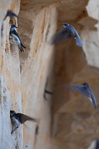 Sand martins (Riparia riparia) flying to nests in holes in cliff, Moldova, June  -  Wild  Wonders of Europe / Geslin