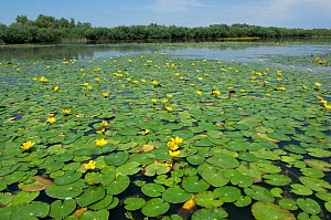 Water lilies on Lake Belau, Moldova, June 2009 - Wild Wonders of Europe / Geslin