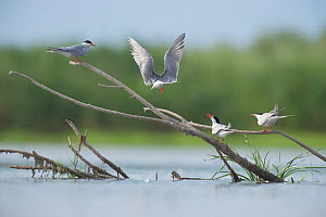Common terns (Sterna hirundo) on branches sticking out of water, Lake Belau, Moldova, June  -  Wild  Wonders of Europe / Geslin