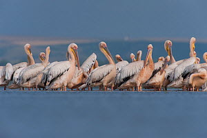 White pelicans (Pelecanus onocrotalus) preening, Lake Belau, Moldova, June  -  Wild  Wonders of Europe / Geslin