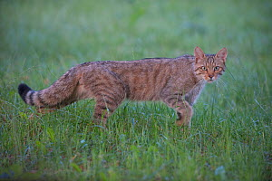 Wild cat (Felis silvestris) walking, Codrii Forest Reserve, Moldova, June  -  Wild  Wonders of Europe / Geslin
