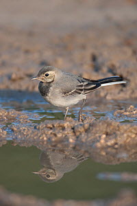 Juvenile white wagtail (Motacilla alba alba) with reflection in puddle, Moldova, July  -  Wild  Wonders of Europe / Geslin