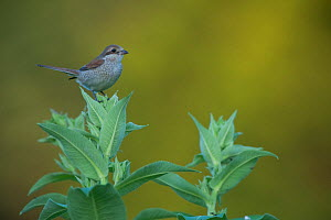 Female Red backed shrike (Lanius collurio) perched on top of plant, Moldova, July  -  Wild  Wonders of Europe / Geslin