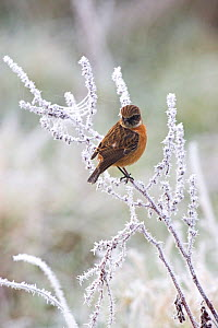 Common stonechat (Saxicola torquata) male in winter plumage perched in frost covered bush, Ibsley, Hampshire, England, December  -  Mike Read