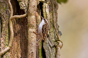 Eurasian treecreeper (Certhia familiaris) on Ivy (Hedera helix) growing on English / Pendunculate oak (Quercus robur) tree, Hampshire, England, March - Mike Read