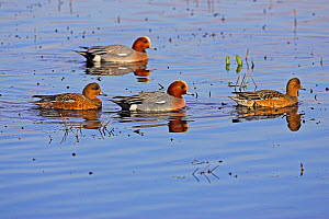 Eurasian wigeon (Anas penelope) two males and two females on shallow water, Catcott Lows, Somerset, England, February - Mike Read