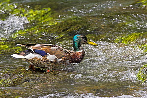 Mallard (Anas platyrhynchos) male in eclipse plumage standing in shallow water, Peak District National Park, Derbyshire, England, June  -  Mike Read