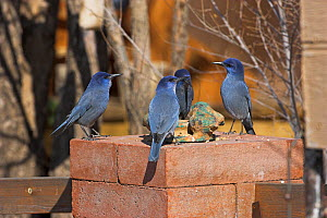 Four Pinyon jay (Gymnorhinus cyanocephalus) visiting garden feeders, New Mexico, USA, January  -  Mike Read