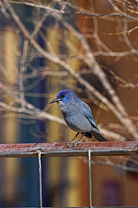 Pinyon jay (Gymnorhinus cyanocephalus) perched on fence, New Mexico, USA, January  -  Mike Read