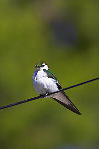 Violet-green swallow (Tachycineta thalassina) perched on wire, Yellowstone National Park, Wyoming, USA, June  -  Mike Read