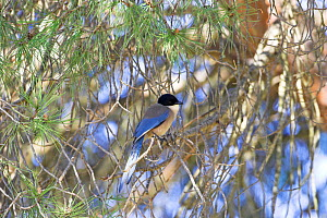 Azure-winged magpie {Cyanopica cyanus} perched in pine tree, Algarve, Portugal  -  Mike Read