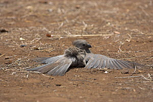 Grey lourie / Go away bird {Corythaixoides concolor} sunbathing, Kruger National Park, South Africa, October  -  Mike Read