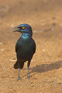 Cape / Red shouldered glossy starling {Lamprotornis nitens} panting, on ground, Kruger National Park, South Africa, October  -  Mike Read