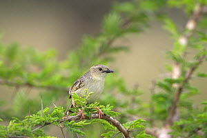 Croaking cisticola {Cisticola natalensis} perched in acacia tree, Hluhluwe, South Africa, November  -  Mike Read