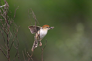 Levaillant's cisticola {Cisticola tinniens} with food for young, Darvill Bird Sanctuary, South Africa, November  -  Mike Read