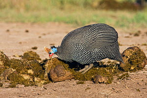 Helmeted guineafowl (Numida meleagris) foraging on elephant dung,  Masai Mara National Reserve, Kenya. February - Anup Shah