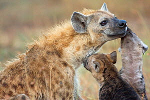 Spotted hyena pups greeting an adult (Crocuta crocuta). Masai Mara National Reserve, Kenya. December  -  Anup Shah