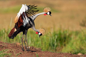 Grey-crowned cranes (Balearica regulorum)displaying. Masai Mara National Reserve, Kenya. December  -  Anup Shah