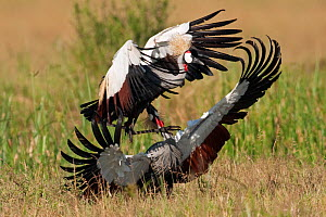 Grey-crowned cranes (Balearica regulorum) fighting. Masai Mara National Reserve, Kenya. December  -  Anup Shah