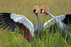 Grey-crowned crane pair (Balearica regulorum) Masai Mara National Reserve, Kenya. December  -  Anup Shah