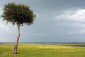 Ballanite tree in landscape against background of approaching rain. Masai Mara National Reserve, Kenya. March 2008. - Anup Shah