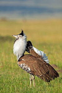 Male Kori bustard (Ardeotis kori) displaying. Masai Mara National Reserve, Kenya. March - Anup Shah