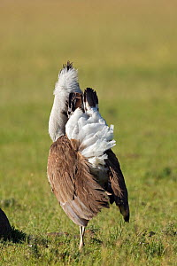 Male Kori Bustard (Ardeotis kori) displaying rear view. Masai Mara National Reserve, Kenya. March  -  Anup Shah