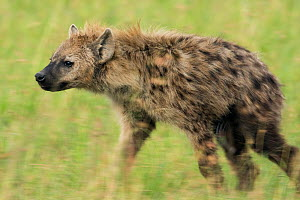 Female Spotted hyenas (Crocuta crocuta) walking through savanna, Masai Mara National Reserve, Kenya. March  -  Anup Shah
