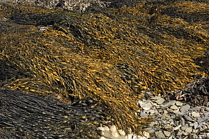 Knotted wrack seaweed {Ascophyllum nodosum} on shore at low tide, Strangford Lough, County Down, Northern Ireland, September  -  Robert Thompson