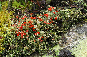 Lichen {Cladonia floerkeana} with red reproductive structures, Rehaghy Mountain, County Tyrone, Republic of Ireland, January  -  Robert Thompson