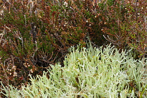 Lichen {Cladonia uncialis subsp. biuncialis} Fawhaboy, County Donegal, Republic of Ireland, March  -  Robert Thompson