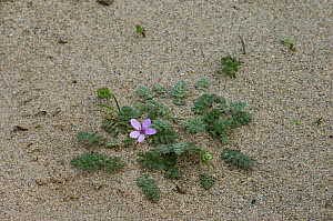 Commmon Storksbill {Erodium cicutarium} growing on sand dune, Murlough National Nature Reserve,  County Down, Northern Ireland  -  Robert Thompson