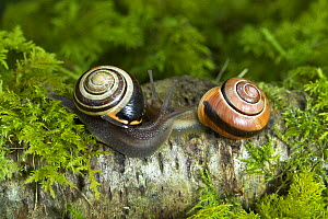 Common banded / Grove snail {Cepaea nemoralis} two showing different shell patterns, Banbridge, County Down, Northern Ireland  -  Robert Thompson
