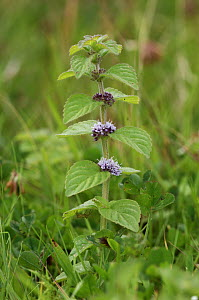 Corn mint {Mentha arvensis} flowering, County Roscommon, Republic of Ireland, August  -  Robert Thompson