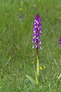 Early purple orchid {Orchis mascula} Burren, Co. Clare, Republic of Ireland, May  -  Robert Thompson