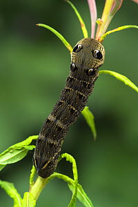Caterpillar larva of Elephant hawk-moth {Deilephila elpenor} on Willowherb, Co. Armagh, Northern Ireland  -  Robert Thompson