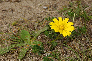 Hawkbit {Leontodon saxcatilis} flowering on sand dune, Grange, County Silgo, Republic of Ireland, August  -  Robert Thompson