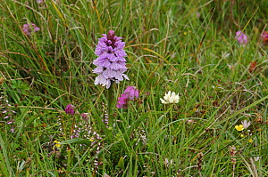 Heath fragrant orchid {Gymnadenia conopsea var borealis} flowering in meadow, Lough Gealain, Burren, Co. Clare, Republic of Ireland, June  -  Robert Thompson