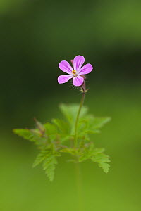 Herb robert {Geranium robertianum} flower, County Armagh, Northern Ireland - Robert Thompson