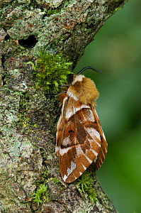 Kentish glory moth {Endromis versicolora} from Deeside, Scotland, UK, February - Robert Thompson