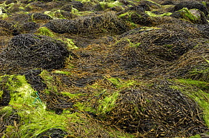 Knotted wrack {Ascophyllum nodosum var mackii}  exposed at low tide, Ballyhenry Point, Strangford Lough, County Down, Northern Ireland, UK, August  -  Robert Thompson