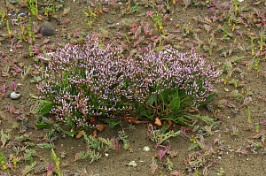 Lax-flowered sea lavender {Limonium humile} Dundrum Bay, Murlough NNR, County Down, Northern Ireland, August - Robert Thompson