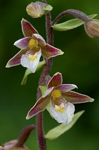 Marsh helleborine {Epipactis palustris} flowers, The Bull NNR, Dublin, Republic of Ireland, July - Robert Thompson