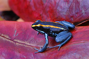 Kokoe poison dart frog {Phyllobates aurotaenia} resting on red leaf, Costa Rica, June - Robert Thompson