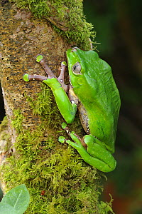 Giant waxy monkey frog {Phyllomedusa bicolor} Argentina, June  -  Robert Thompson